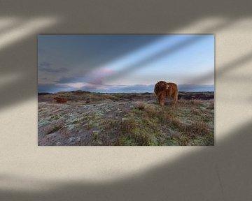 2 Schotse Hooglanders op een duintop tijdens zonsopkomst van Remco Van Daalen