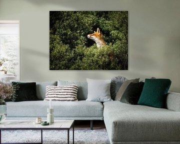 Un renard curieux sur Kayleigh Heppener