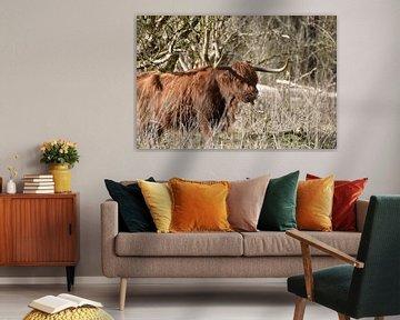 Schotse Hooglander van Patricia van den Bos