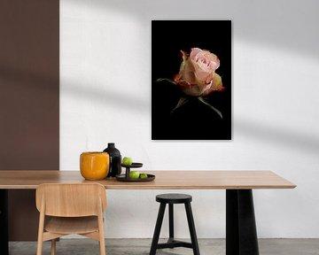 Roze roos op een zwarte achtergrond van Ronald van Kooten