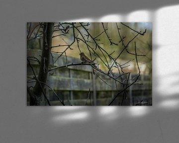 Sperling im Hinterhof von Andre Klooster