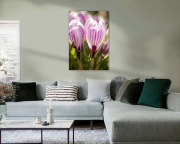 Makrofoto von Krokus, Blumenfoto   Fine Art Fotodruck von Karijn   Fine art Natuur en Reis Fotografie