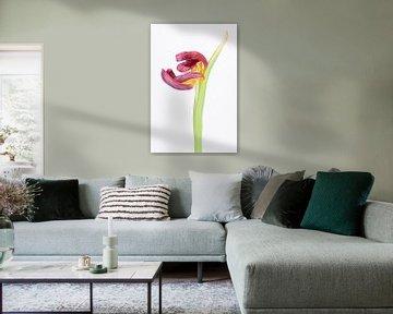 Runzelige Tulpe 3
