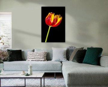 Tulp van Pieter van Roijen
