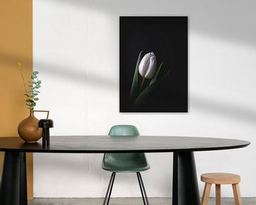 Witte tulp op donkere achtergrond