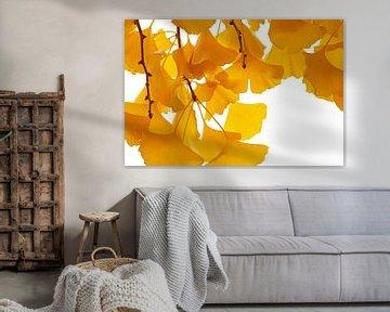 Gele Ginkgo herfstbladeren in close-up tegen een witte achtergrond van Nature in Stock