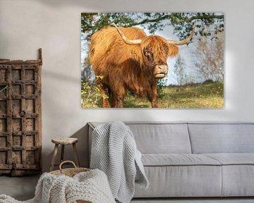 Schotse Hooglander van Erwin Heuver