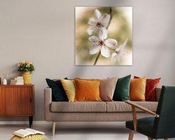 Kersenbloesem van Guido Rooseleer