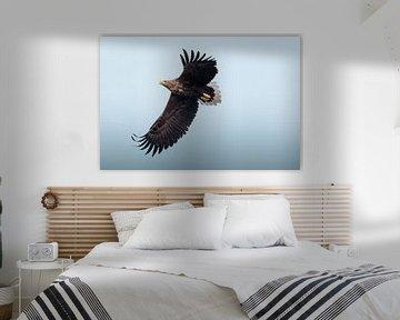 Zeearend op blauwe achtergrond | Vogelfotografie Lofoten Noorwegen | Fotoprint natuur van Dylan gaat naar buiten