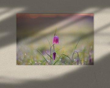Kiervitsbloem auf dem Feld von Michel Knikker