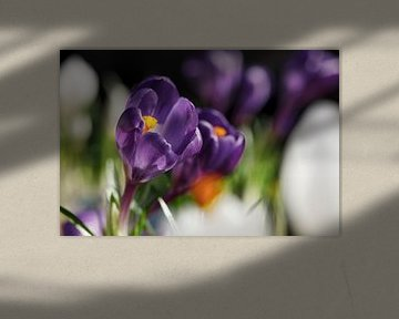 Paarse Krokus in bloemenveld II van Mister Moret Photography