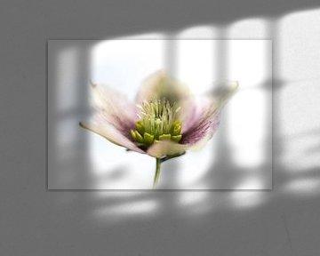 Witroze wrangwortel van Guido Rooseleer