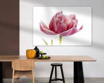 Tulpe rosa aus der Tulpen-Serie Suur von Marja Suur