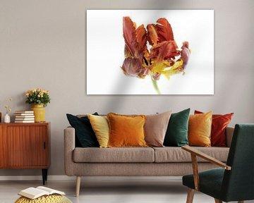Tulpe Rotbraun aus der Tulpen-Serie Suur von Marja Suur