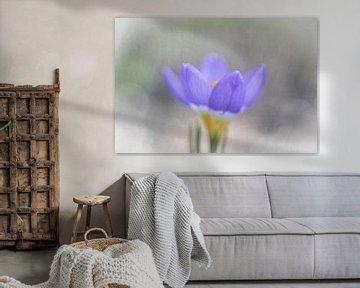 Crocus violet avec bruit sur Guido Rooseleer