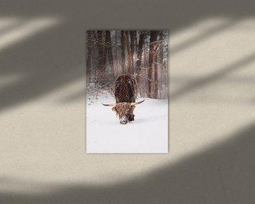 Schotse hooglander in de sneeuw van Robin van Steen