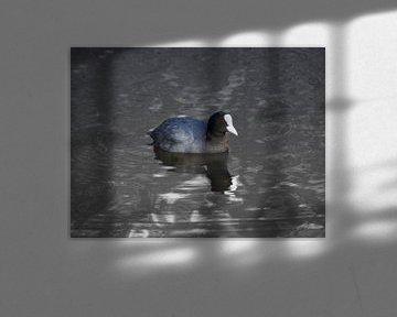 Ein Blässhuhn schwimmt im Wasser von Bianca Wisseloo