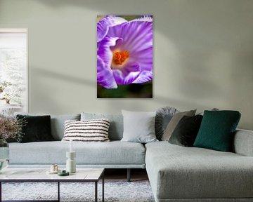 Blumenkunst | Makrofoto von Krokus, orange Staubblätter in einer Blume | Kunstfotodruck von Karijn | Fine art Natuur en Reis Fotografie