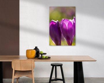 Blumenkunst | Makrofoto von Krokus, orange Staubblätter in einer Blume | Frühlingsblume | Kunstfotod von Karijn | Fine art Natuur en Reis Fotografie