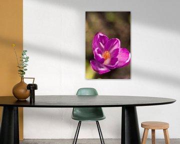lila Frühlingsblume   Blumenkunst   Makrofoto von Krokus, orange Staubblätter in einer Blume   Kunst von Karijn   Fine art Natuur en Reis Fotografie