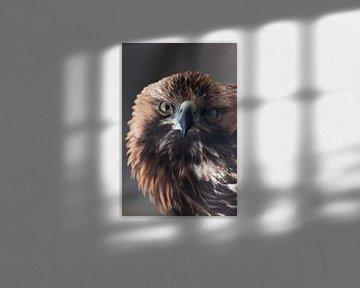 Aigle royal regarde avec un regard vif plein visage en tournant sa tête gros plan sur Michael Semenov