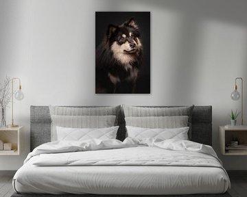 Porträt eines Finnischer Lapphund mit schwarzem Hintergrund 1/3 von Lotte van Alderen