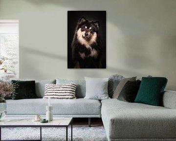 Porträt eines Finnischer Lapphund mit schwarzem Hintergrund 2/3 von Lotte van Alderen