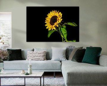 Bunte Sonnenblume mit Wassertropfen und einem schwarzen Hintergrund von Dafne Vos