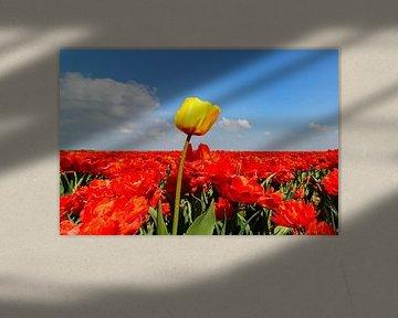 Een gele tulp in een veld met rode tulpen van Sjoerd van der Wal