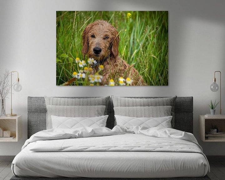 Impression: Wet Mini Goldendoodle est assis dans une prairie avec des fleurs de camomille. sur Stephan Schulz