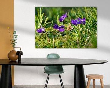 Maarts viooltjes in het gras