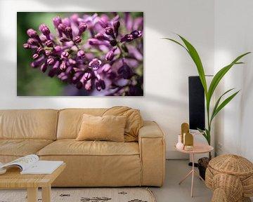Gros plan sur les fleurs printanières du lilas ou Syringa vulgaris, au parfum rouge pourpre. sur Henk Vrieselaar