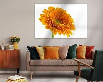 Gerbera, oranje
