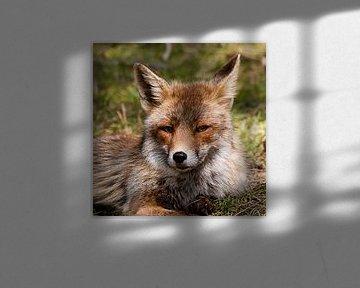 Fuchs von DroomGans