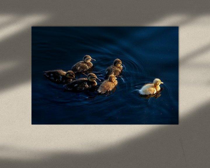 Sfeerimpressie: Groep eenden kuikens zwemmen bij zonsondergang van Eyesmile Photography