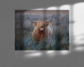 Schotse hooglander van Harry Punter