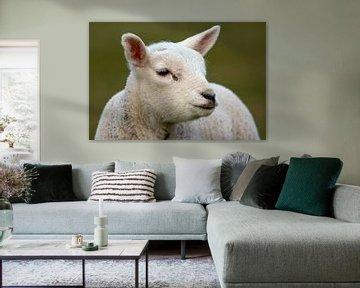 Lamm auf Texel von Ronald Timmer