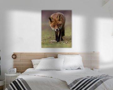 Nieuwsgierige vos tijdens het gouden uurtje