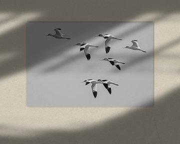 Ein Flug von Säbelschnäbeln von Foto Amsterdam / Peter Bartelings