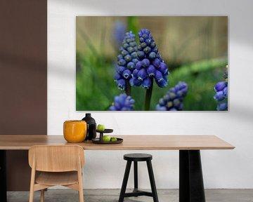 Makro-Nahaufnahme von blauen Weintrauben (Muscari botryoides) von Robin Verhoef