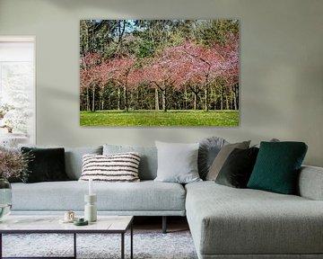 DE - Baden-Württemberg : Kirschblüten von Michael Nägele