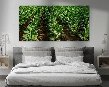 tabakplantage von Stefan Havadi-Nagy