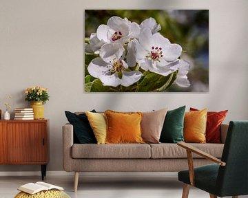 Birnenblüte in der Betuwe, Niederlande (2) von Adelheid Smitt