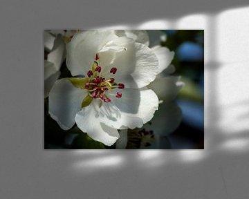 Birnenblüte in Be Betuwe, die Niederlande (3) von Adelheid Smitt