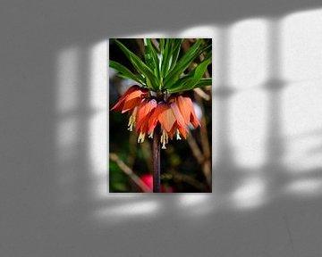 Orangefarbene Blüten eines Fritillarys von Gerard de Zwaan