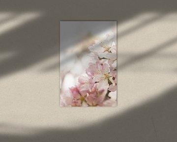 Rosa Frühlingsblüte II von Henrike Schenk