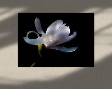 zachte magnolia