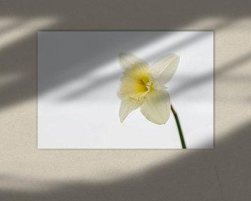 eine weiße Osterlilie von Rik Verslype
