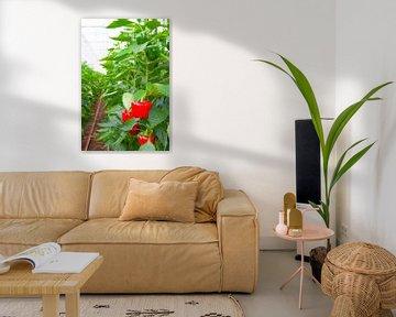 Rode paprika groeit op paprikaplanten in een kas van Sjoerd van der Wal