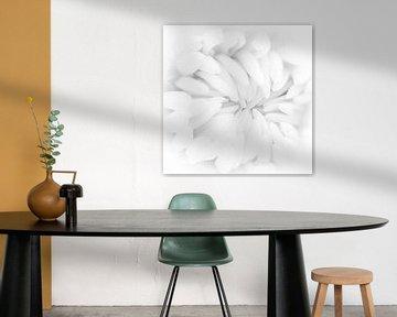 weiße Chrysantheme von Klaartje Majoor